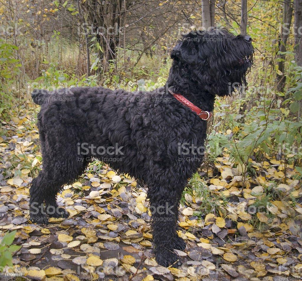 Russian Black Terrier stock photo