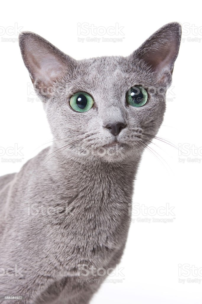 Russian blue cat portrait (isolated on white) stock photo