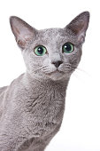Russian blue cat portrait (isolated on white)