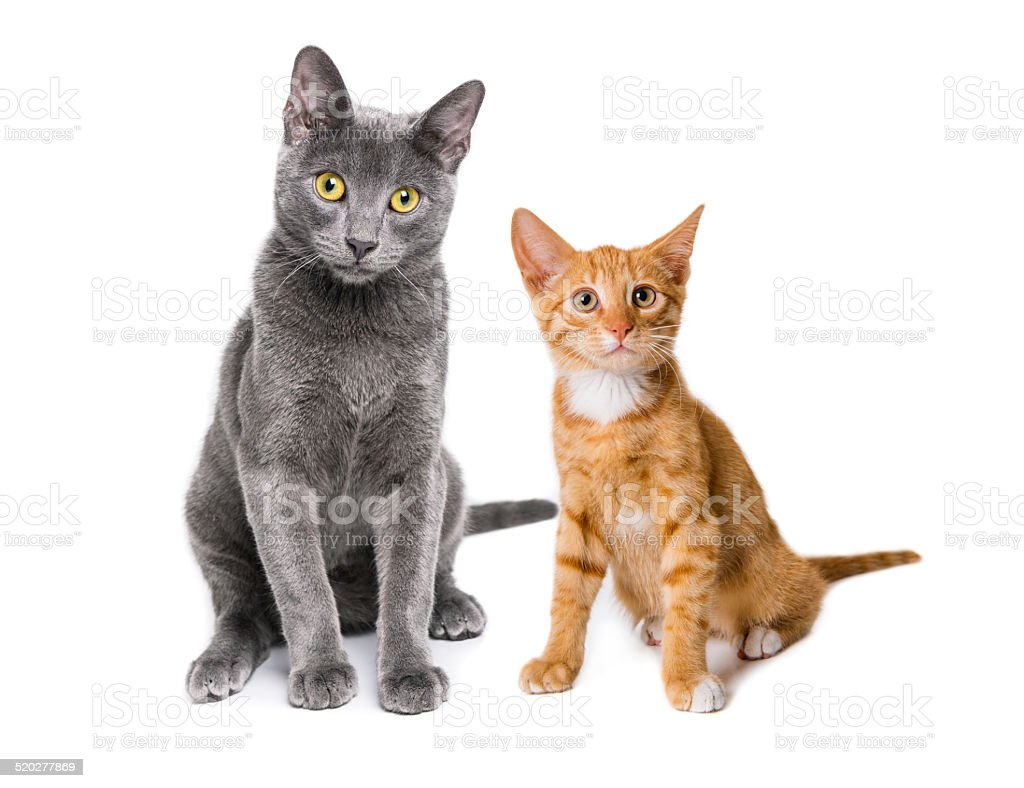 Russian blue cat with green eyes and ginger cat posing stock photo