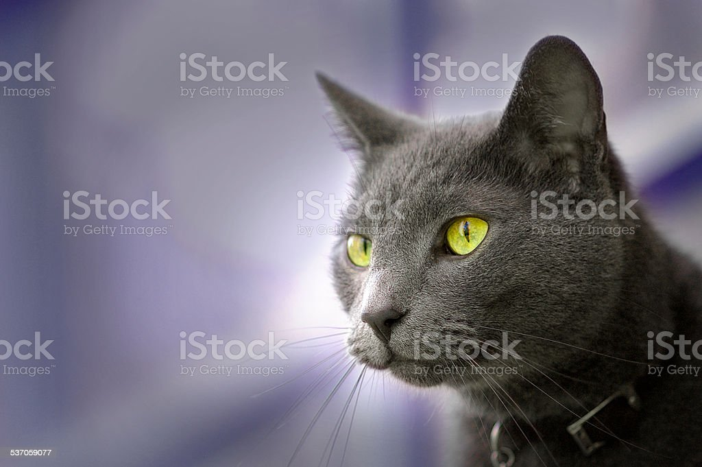 Russian Blue cat with yellow eyes wearing a collar. stock photo