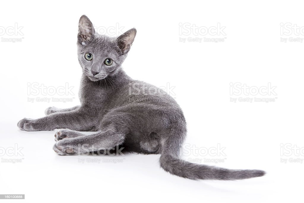 Russian blue kitten on white background royalty-free stock photo