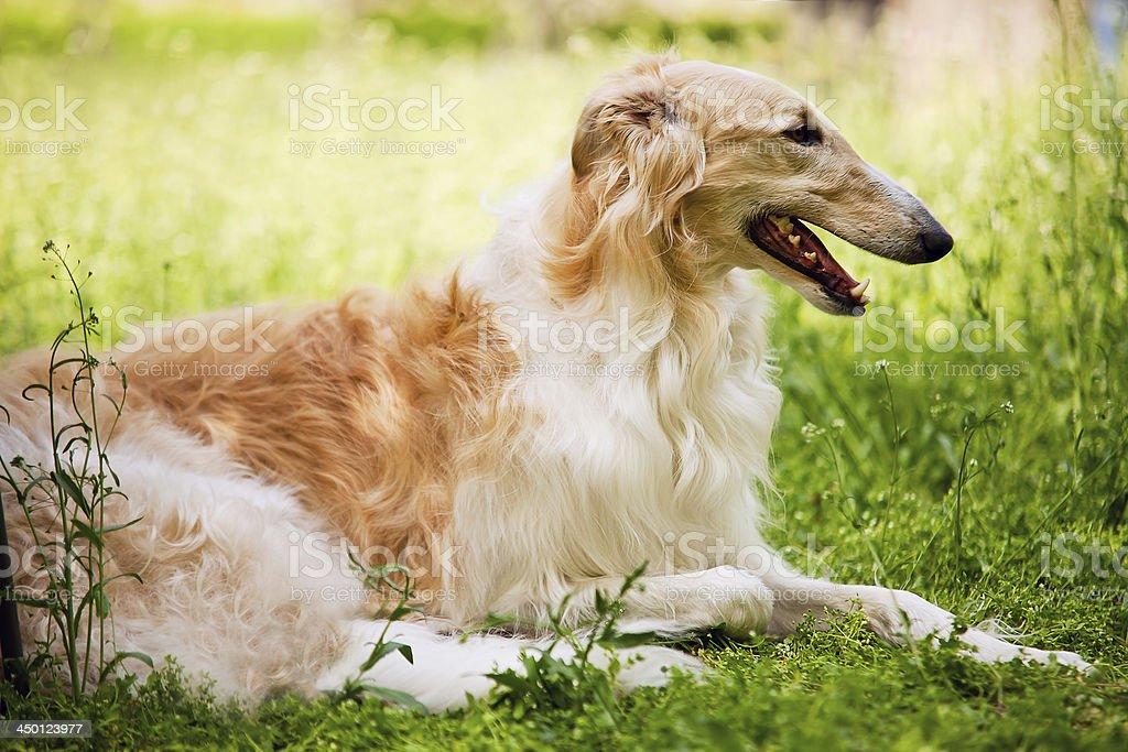 Russian Borzoi burebread dog stock photo