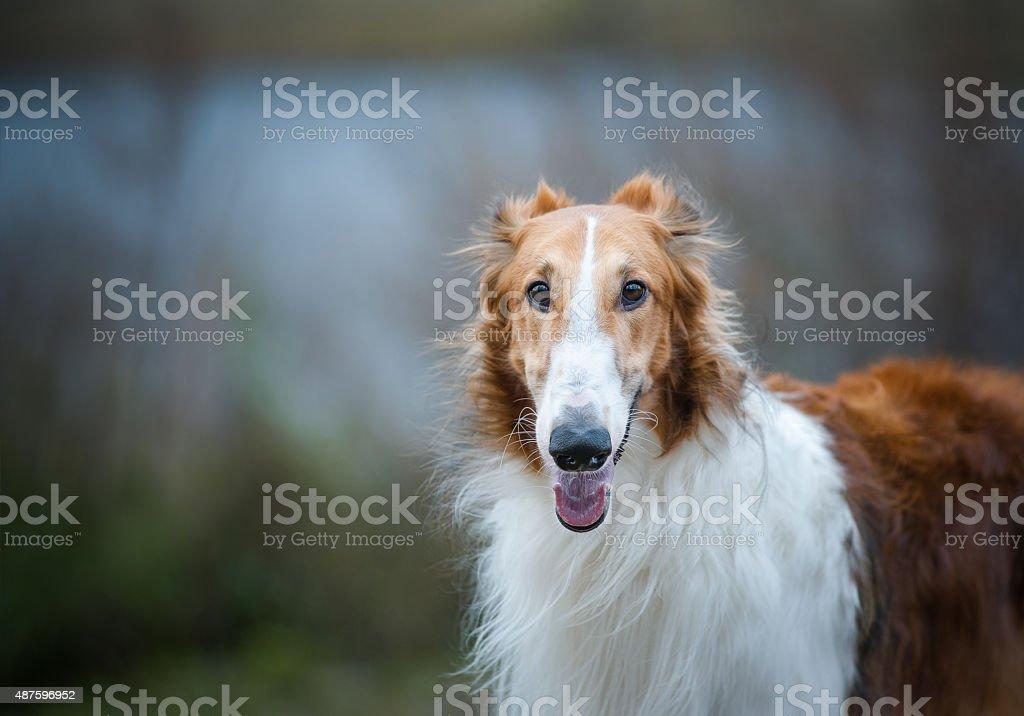 Russian borzoi dog close up stock photo