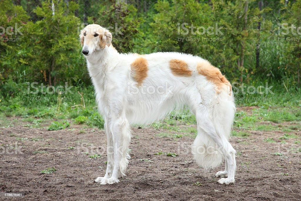 Russian borzoi dog standing stock photo