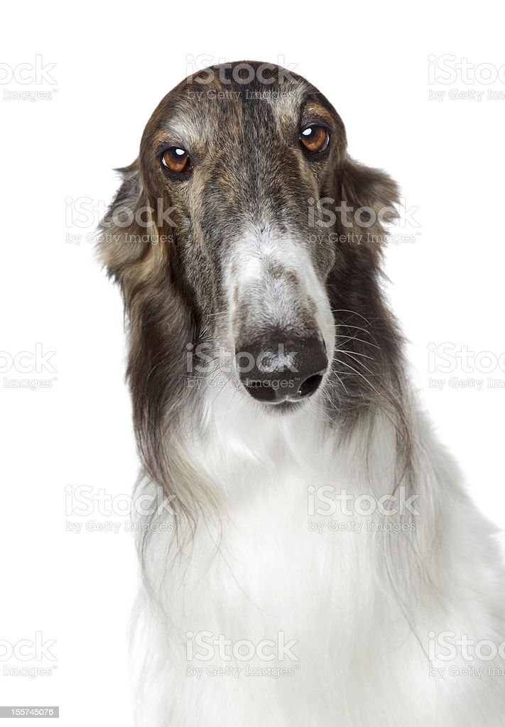 Russian borzoi, greyhound dog stock photo