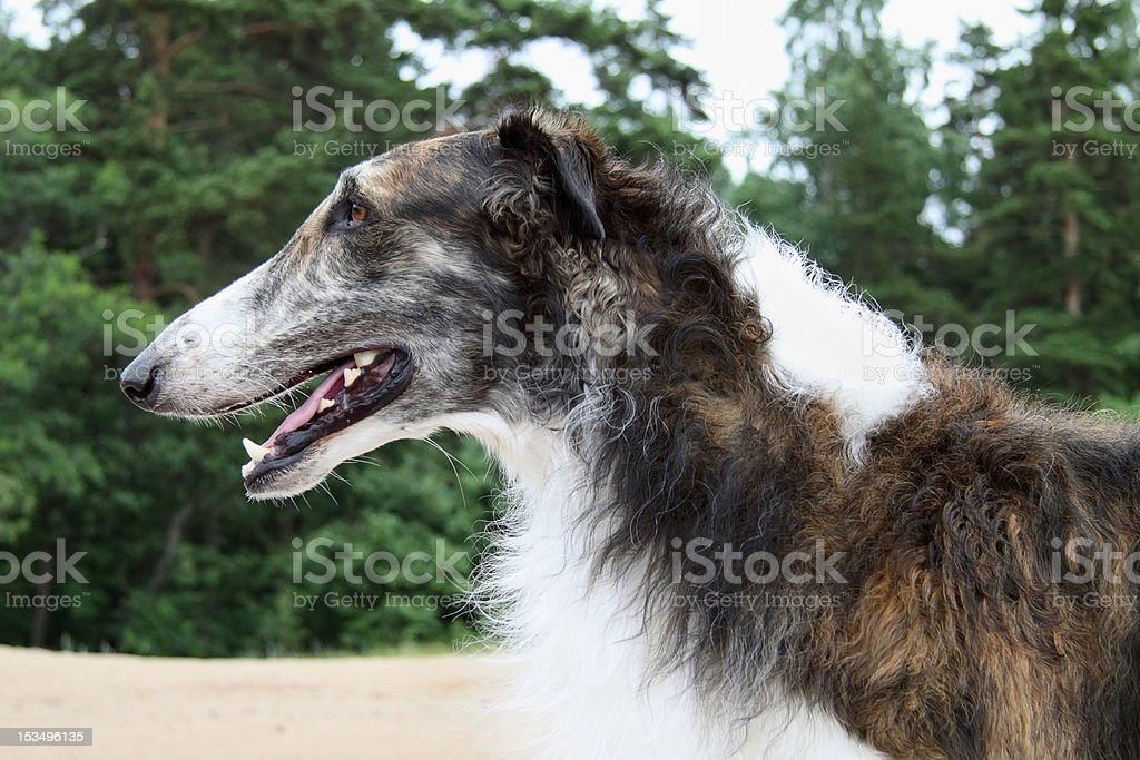 Russian borzoi royalty-free stock photo
