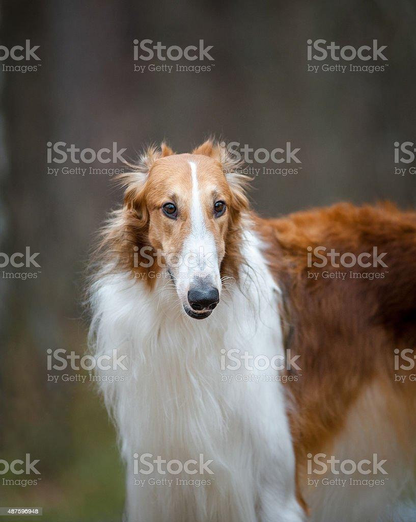 Russian borzoy dog stock photo