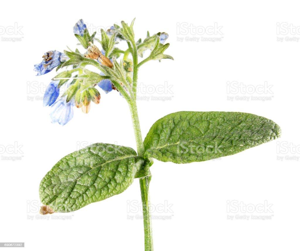 Russian comfrey (Symphytum uplandicum) isolated on white background. Medicinal plant stock photo