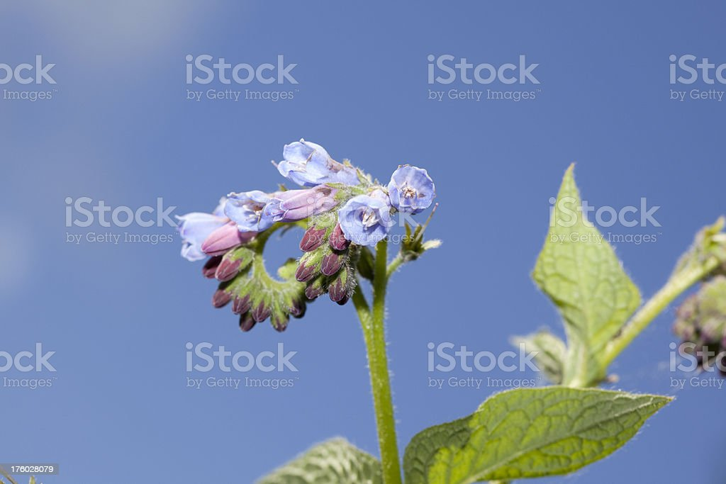 Russian Comfrey (Symphytum x uplandicum) stock photo