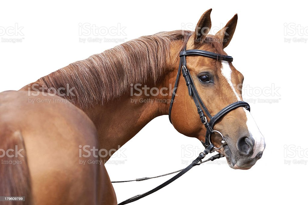 Russian Don horse stock photo