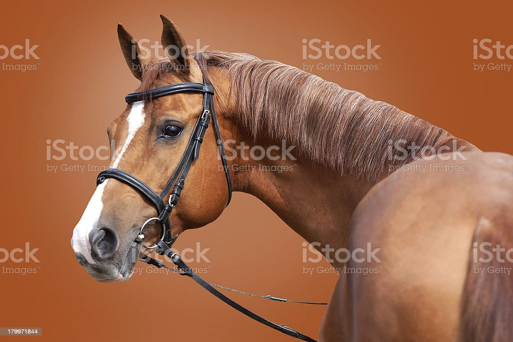 Russian Don horse royalty-free stock photo