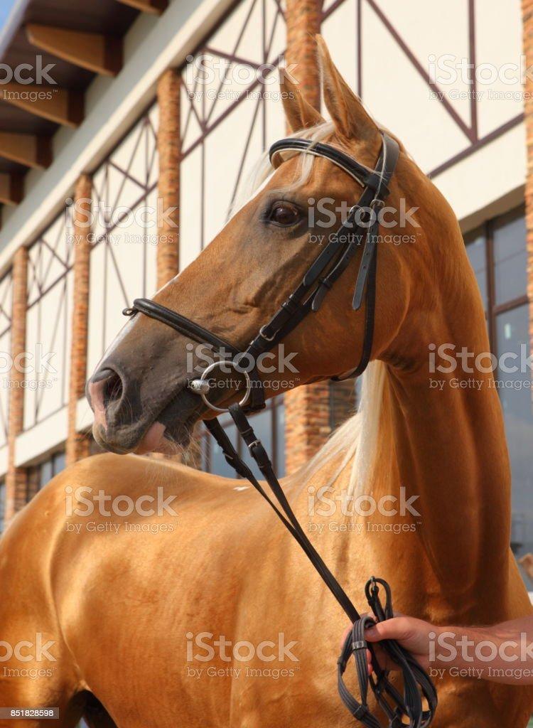 Russian Don horse portrait stock photo