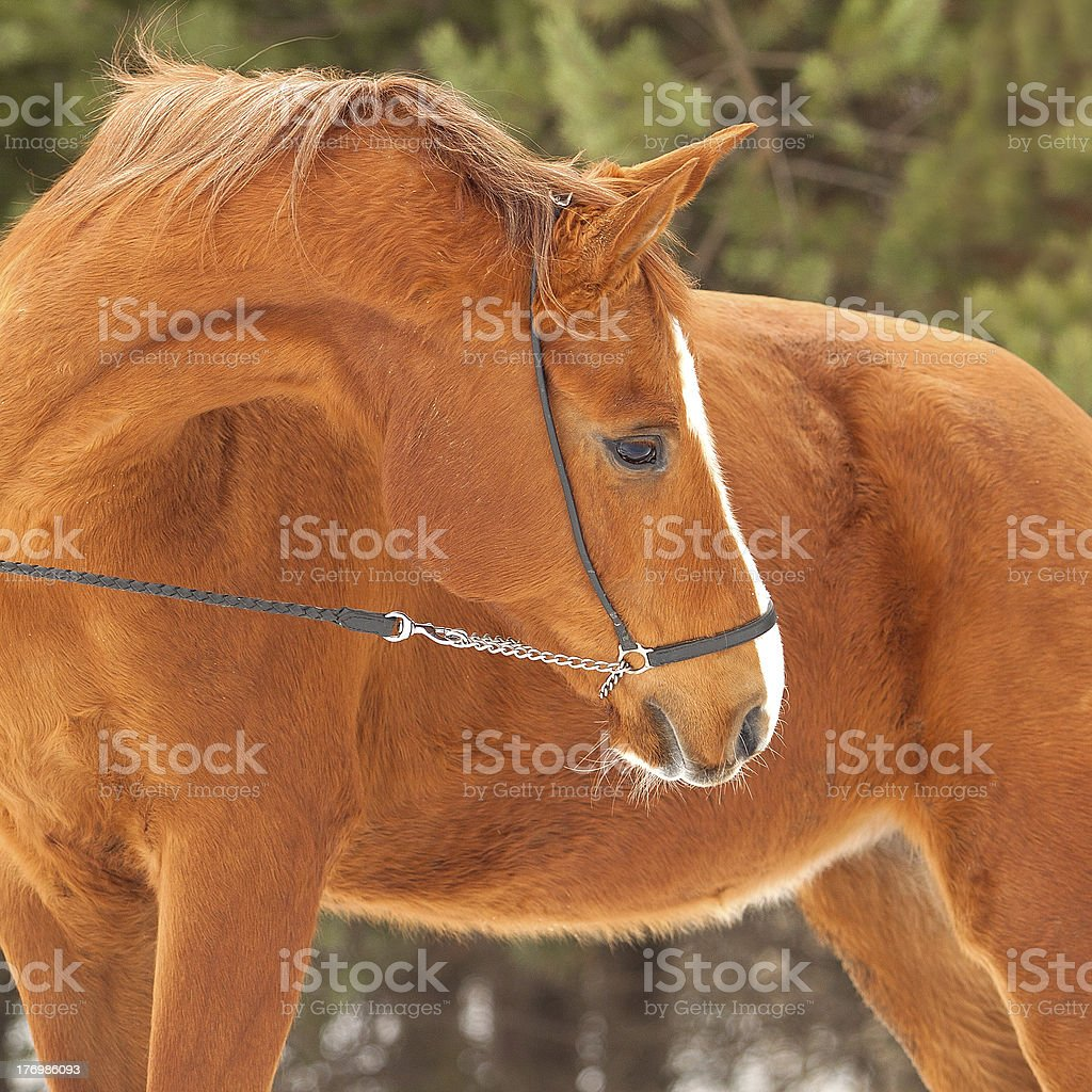 Russian Don mare royalty-free stock photo