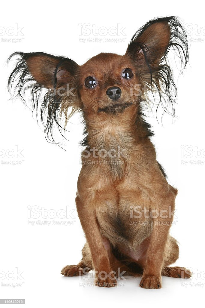 Russian  long-haired toy terrier breed dog stock photo