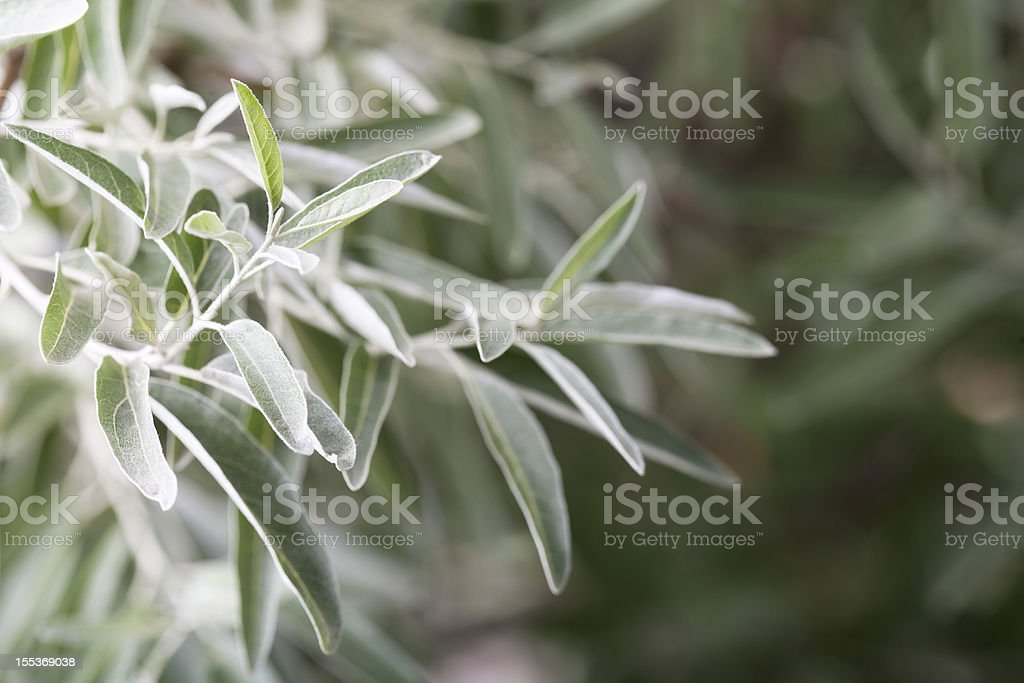 Russian olive branch stock photo