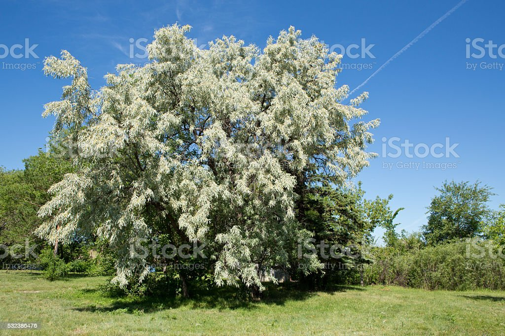 Russian olive tree against blue sky stock photo