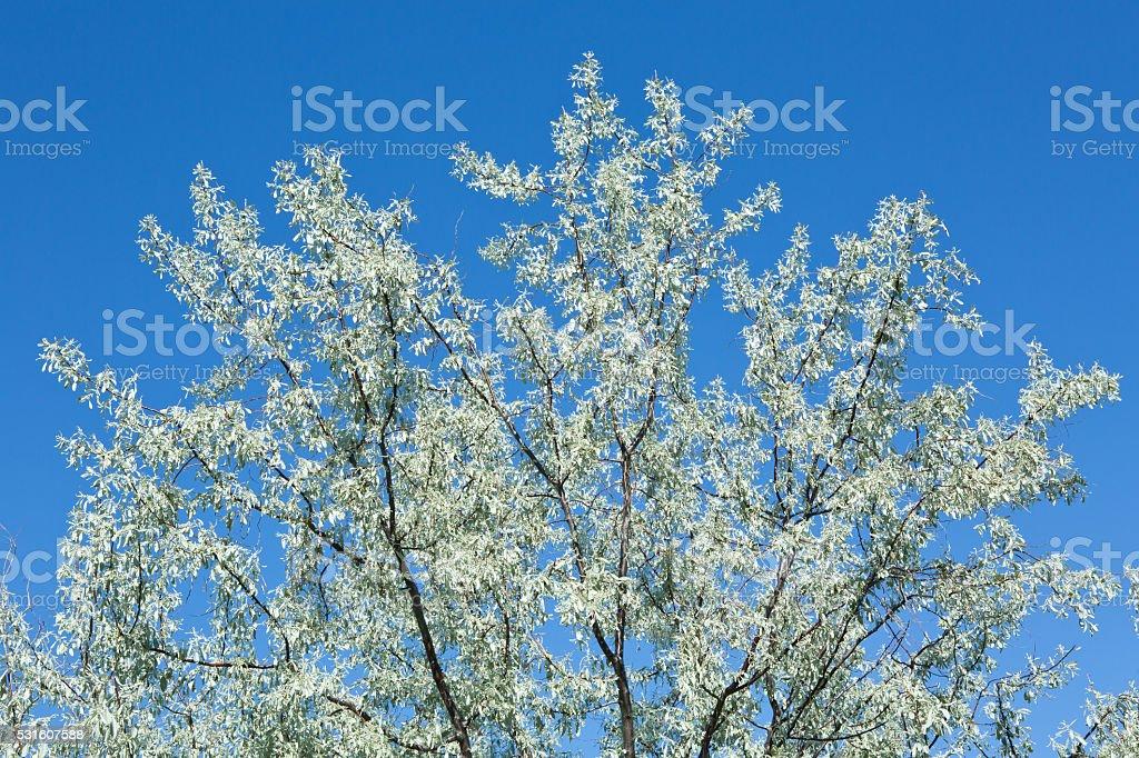 Russian olive tree blue sky stock photo