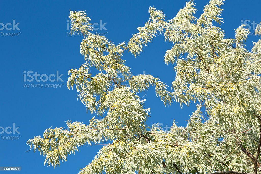 Russian olive tree flowering in summer against blue sky stock photo