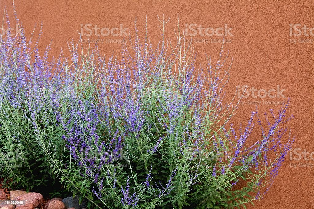 Russian Sage and Adobe Wall stock photo
