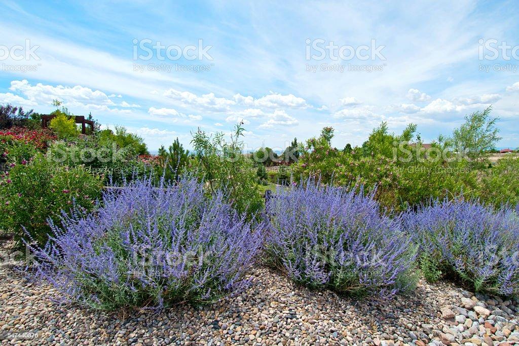 Russian Sage - Perovskia atriplicifolium stock photo