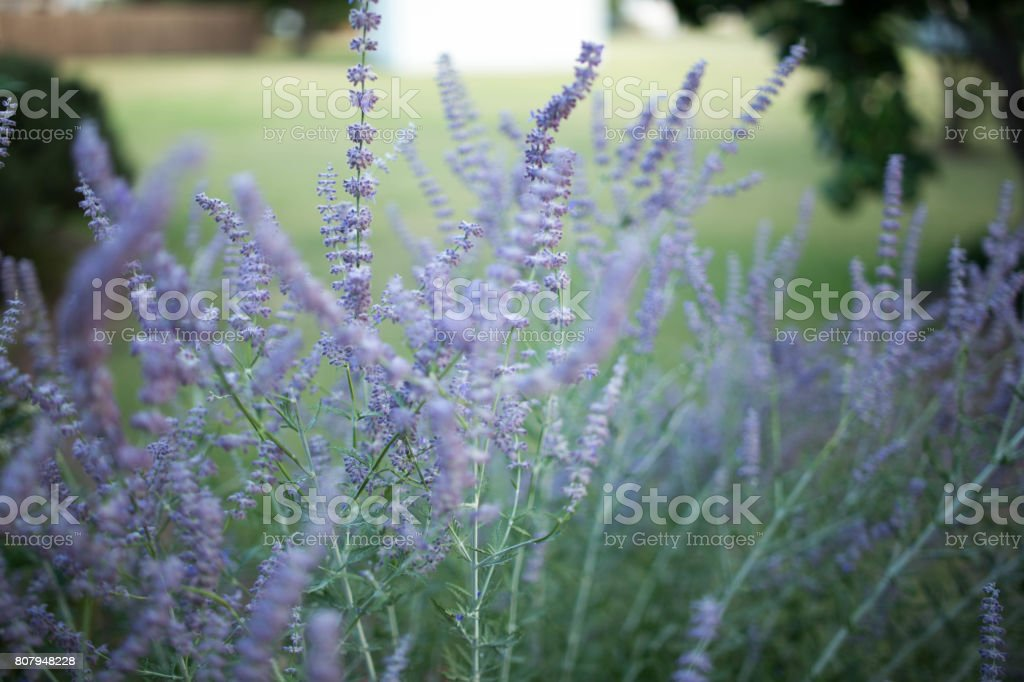 Russian Sage stock photo