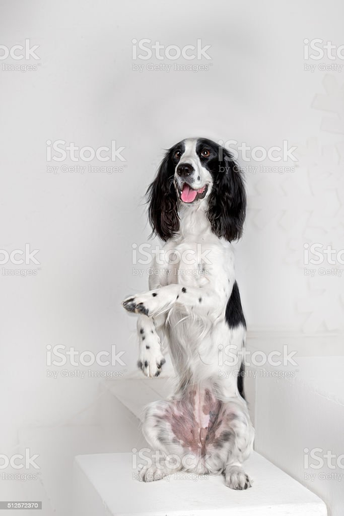 Russian Spaniel in studio stock photo