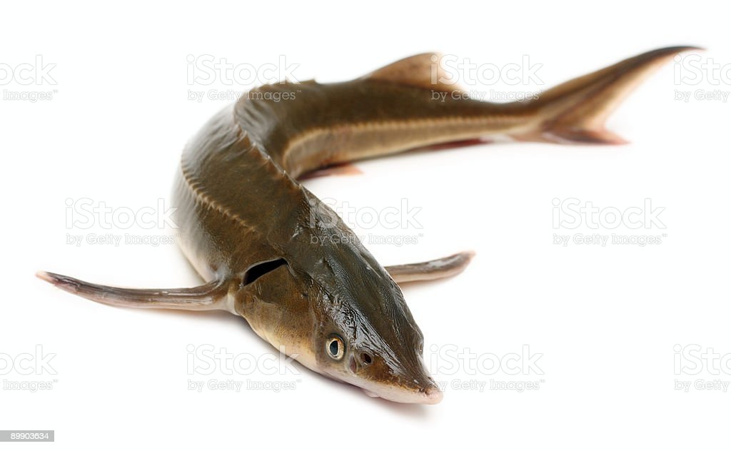 russian sturgeon stock photo