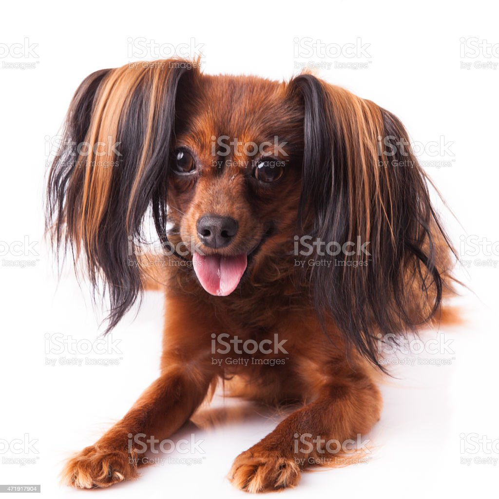 russian toy. little dog, stock photo