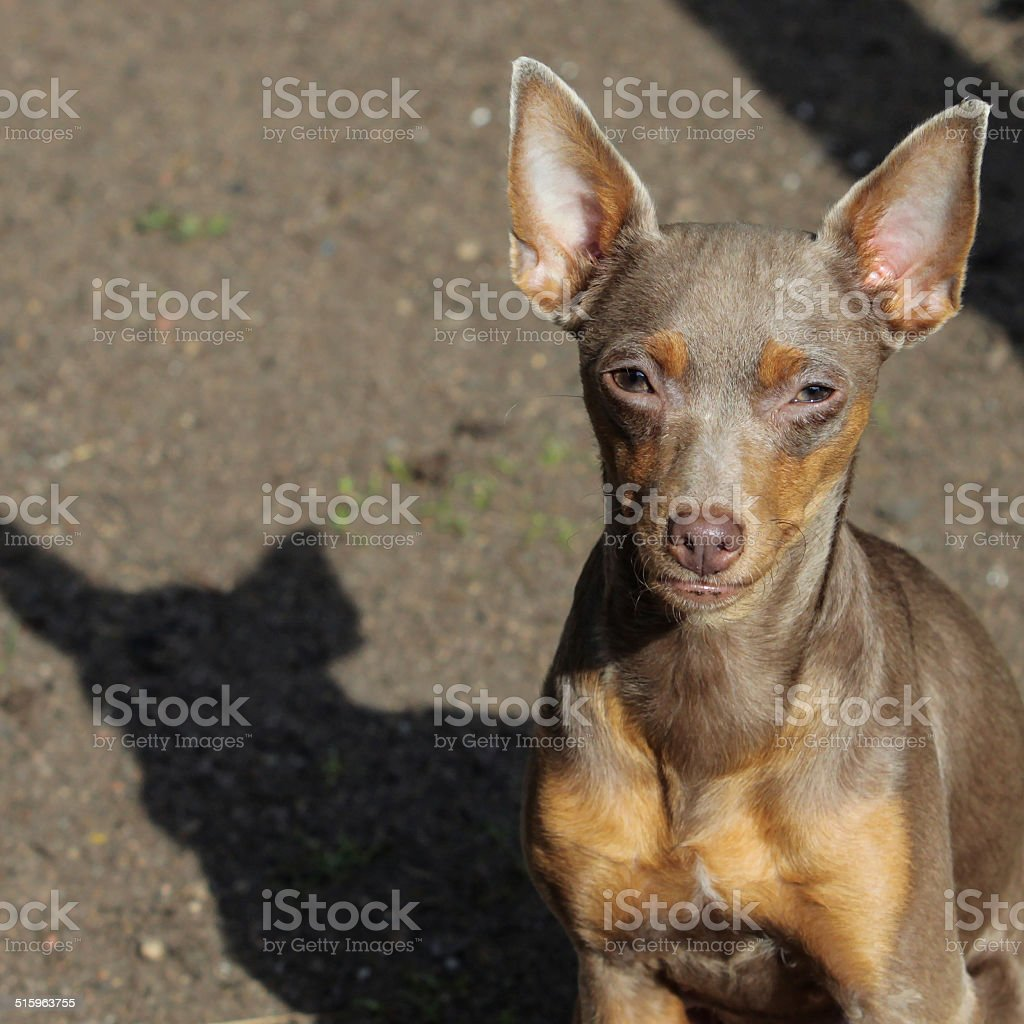 Russian toy terrier royalty-free stock photo