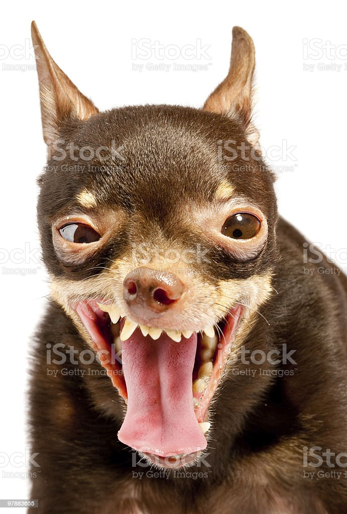 Russian toy-terrier.Ridiculous dog stock photo