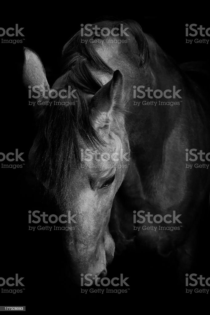 Russian trotter horse in the shadows stock photo