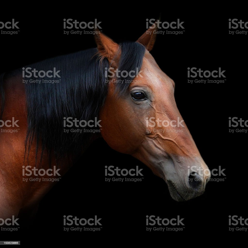 Russian trotter royalty-free stock photo