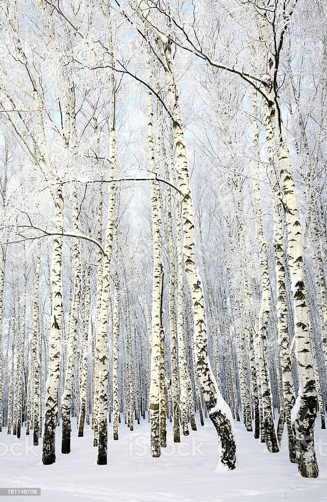 Russian winter - Birch Grove on blue sky background royalty-free stock photo