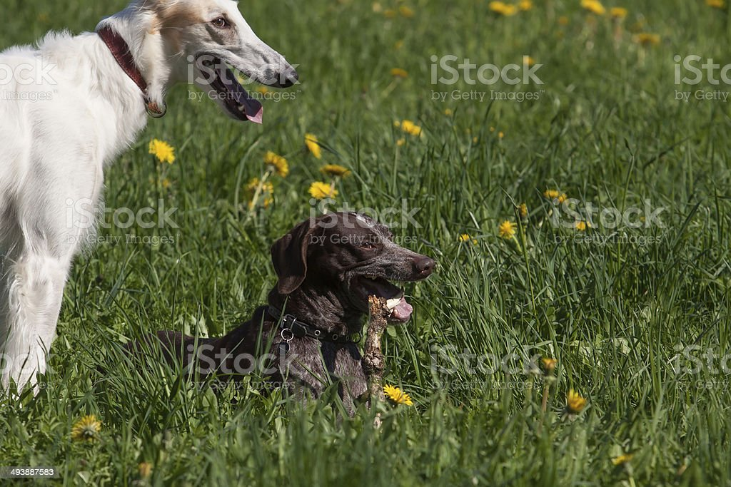 Russian wolfhound and German shorthaired pointer royalty-free stock photo