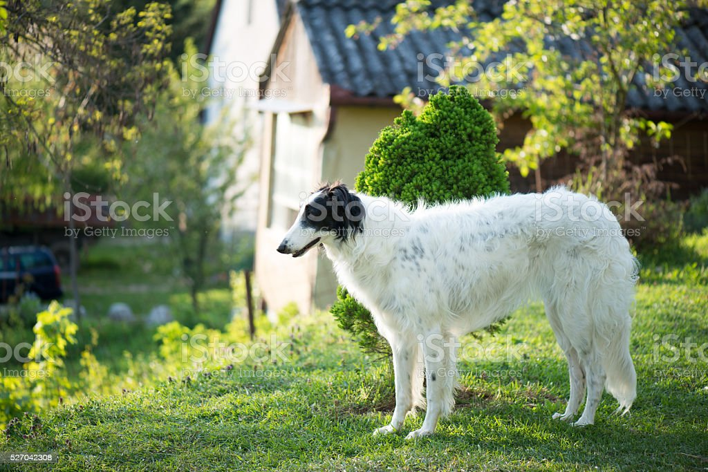 Russian Wolfhound dog posing outdoor stock photo