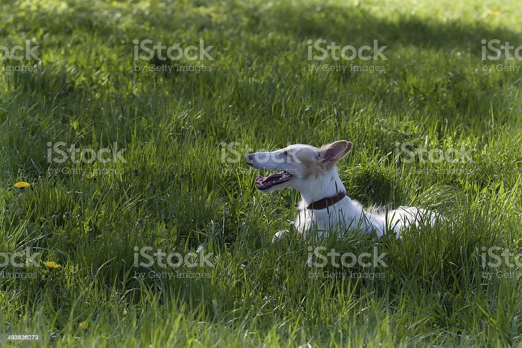 Russian wolfhound royalty-free stock photo