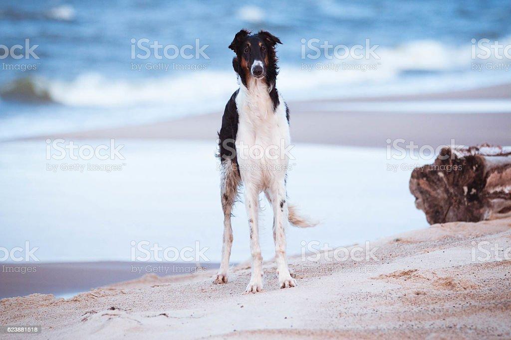 Russian wolfhound stock photo