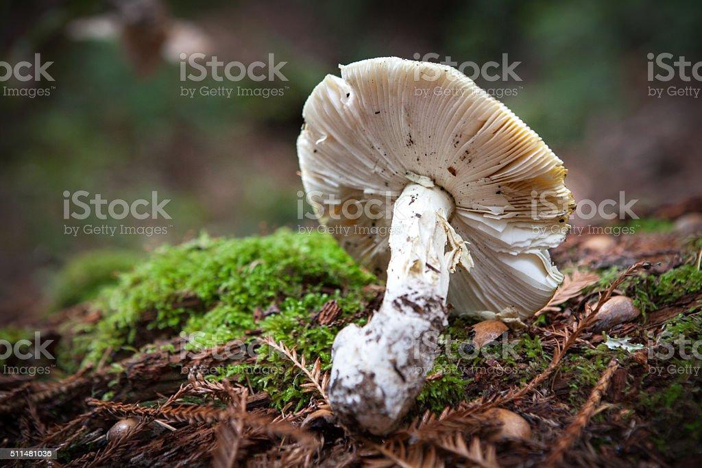 Russula Brevipes Mushroom On A Log, Big Basin State Park royalty-free stock photo
