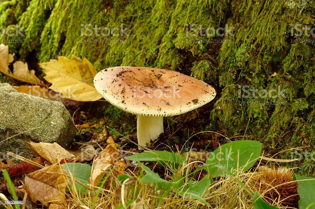Russula olivacea stock photo