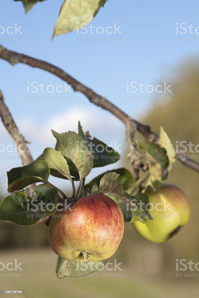 Rustico mele del ramo foto stock royalty-free