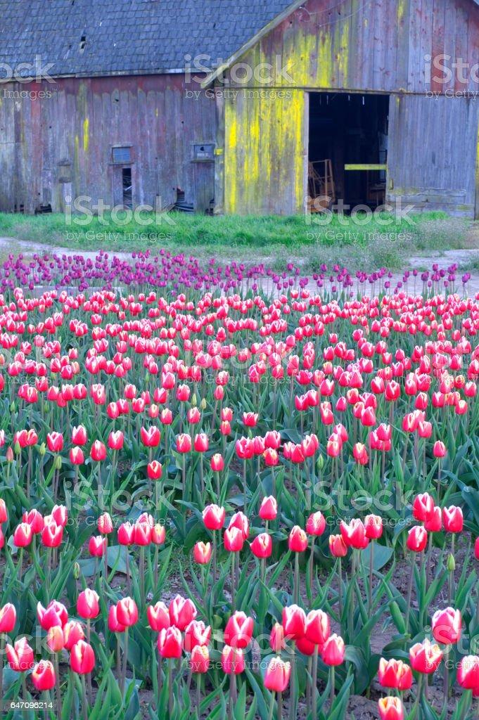 Rustic Barn Weathered Wood Multiple Colors Tulip Farm Flowers stock photo