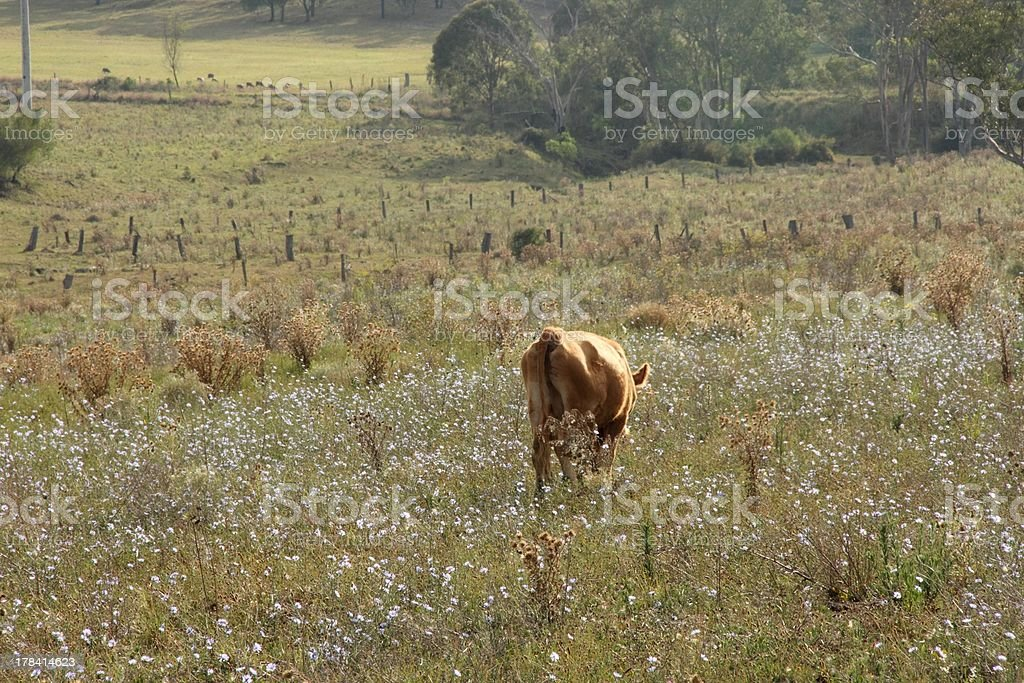 rustic cow stock photo