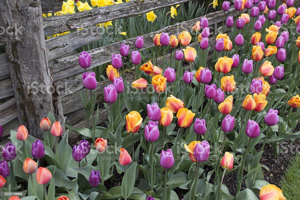 Multicolored tulip flowers