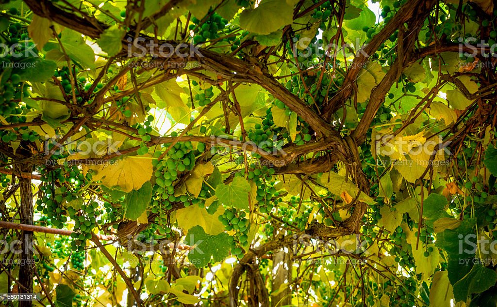 Rustic gazebo and the old vine stock photo