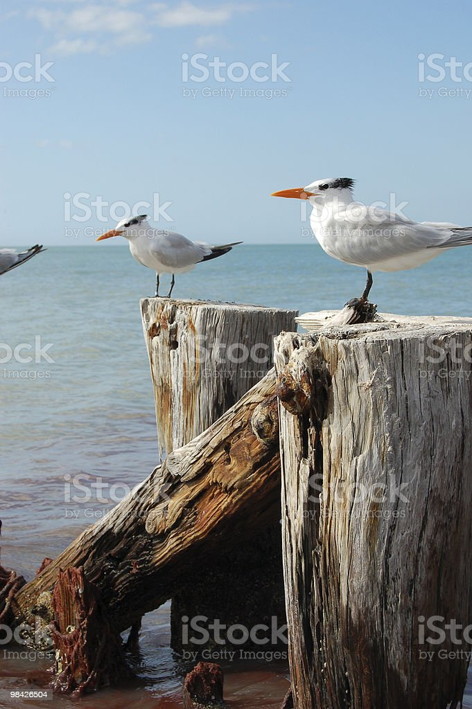Rustic Pilings with Terns stock photo
