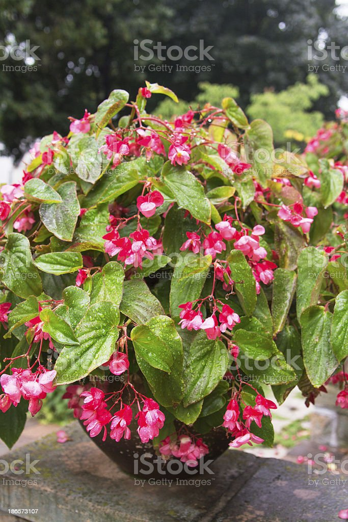 Rustic Potted Dragon Wing Begonia with Rain Water Dew Drops royalty-free stock photo