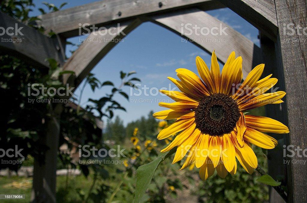 Rustic Sunflower stock photo