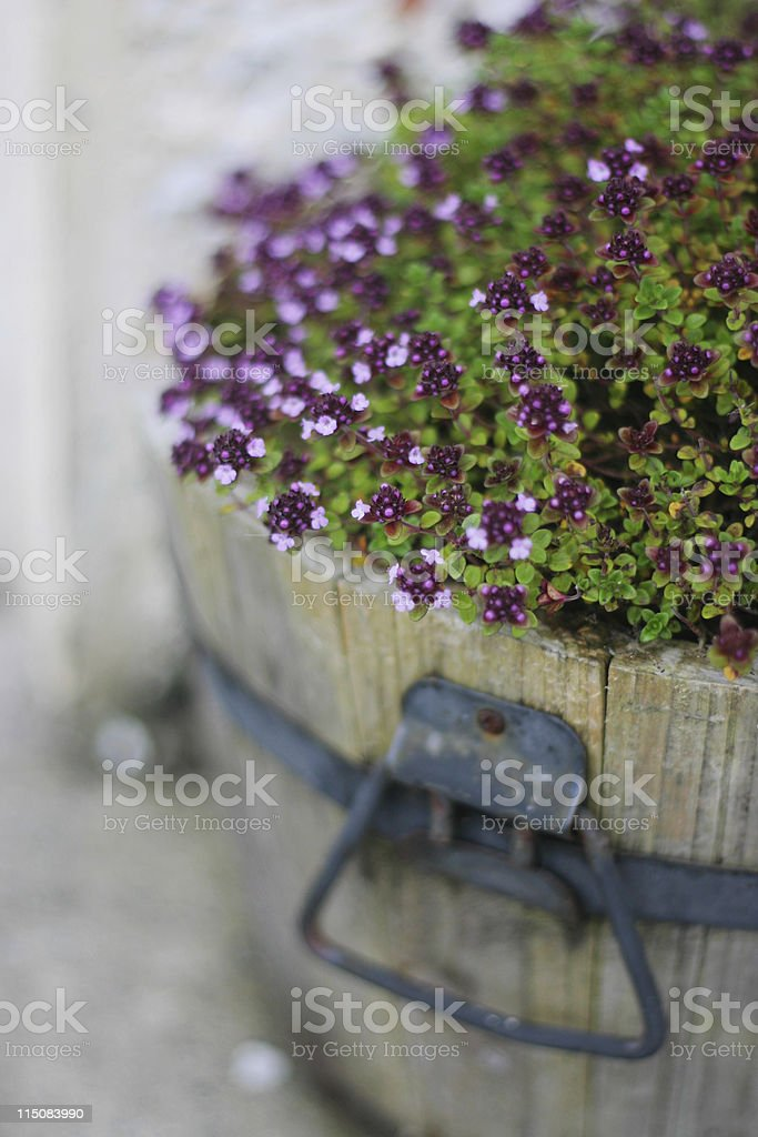Rustic Wooden Thyme Planter royalty-free stock photo