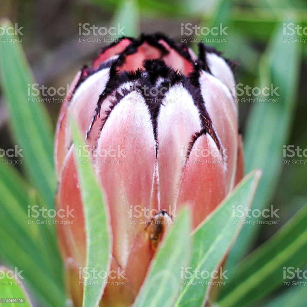 Rustic-Red-Cape-Protea stock photo